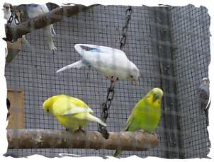 Karlchen und Whitewing nach dem Umzug in die Voliere